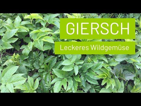 Giersch – Leckeres Wildgemüse