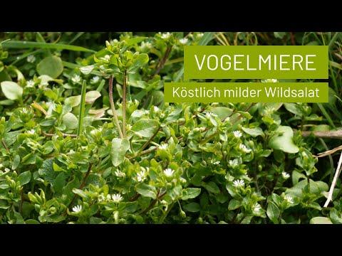 Vogelmiere ist ein köstlicher Wildsalat der rund ums Jahr wächst