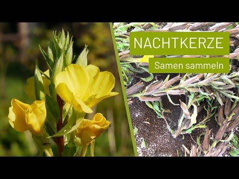 Nachtkerzen Samen sammeln   Knackig und lecker