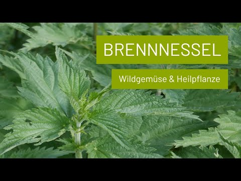 Brennnessel ernten ohne Brennen | Leckeres Wildgemüse (Suppe, Spinat, Chips, Smoothie) & Heilpflanze