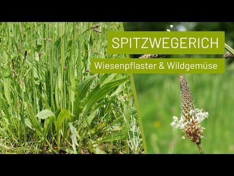 Spitzwegerich leckeres Wildgemüse, Pflaster und Heilpflanze