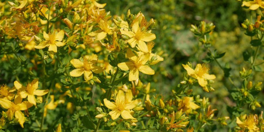 Johanniskraut Blüten