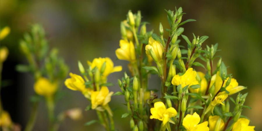Die Blüten der Nachtkerze